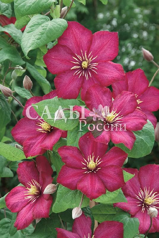 Клематисы Виль Де ЛионКлематисы<br>Старинный французский сорт, выращивается с<br>1899 года. Цветы яркие, до 15 см в диаметре. Лепестки<br>очень широкие, округлые, окрашены в фиолетово-красные тона, к краю более насыщенные.<br>