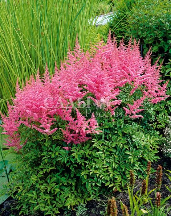 Астильба КаттлеяАстильба<br>Царство волшебных оттенков изумительного<br>розового цвета.<br>