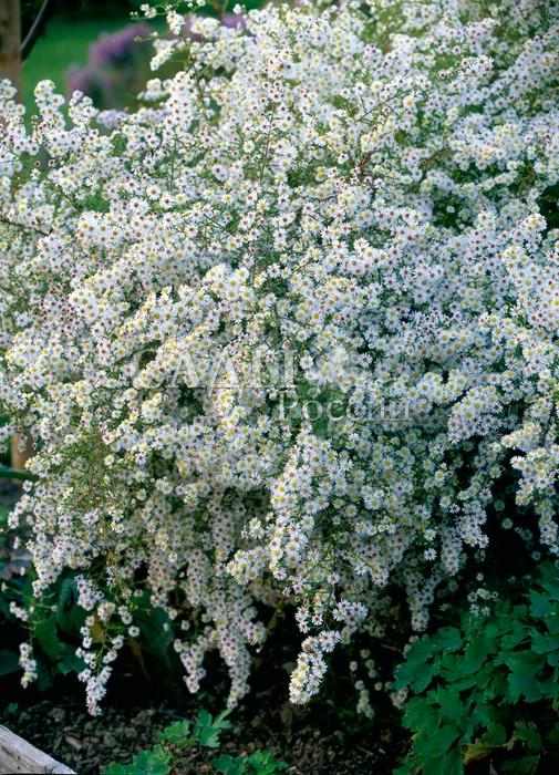 Астра Снежный городокАстра вересковая<br>Астра вересковая. <br><br>Будто снегом, усыпана хлопьями маленьких, 1,5 см в диаметре, белых цветков<br>с выразительным солнечно-жёлтым центром.<br>
