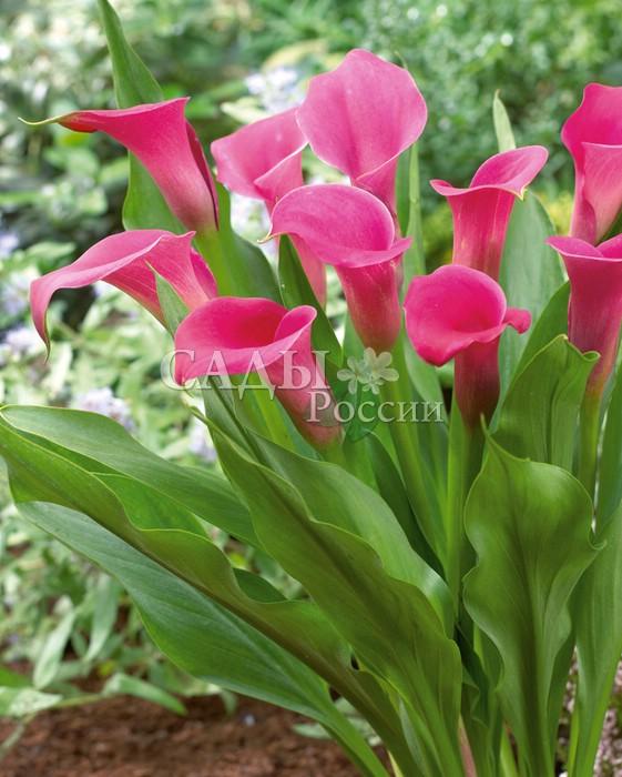 Каллы ПомадкаКаллы<br>Очень выразительная и яркая, малиновая с<br>нежным оттенком розовой лаванды.<br>