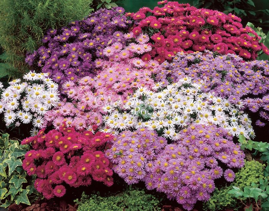 Астра: Набор ЗвёздочкиАстра кустарниковая<br>Набор кустарниковых астр. (1+1+1+1+1)<br><br>Яркая звёздная палитра изысканных лилово-фиолетовых, пурпурных, аметистово-розовых, рубиновых и жемчужно-белых красок.<br>
