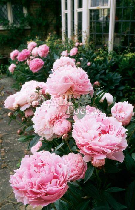 Пионы Сара БернарПионы<br>Розовая волна нежности и<br>опьяняющих ароматов легко вскружит голову кому угодно. Цветки<br>пышные, крупные, махровые. Цветёт в поздние сроки, продлевая волшебное и неповторимое время цветения пионов.<br>