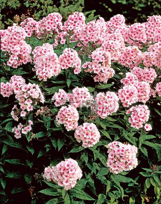 Флоксы Ясные глазаФлоксы метельчатые<br>«…Ясные, светлые глаза вижу я в<br>сиянье дня». Очень выразительные и очаровательные крупные<br>нежно-розовые цветки с ярким насыщенным густо-малиновым<br>центром.<br>
