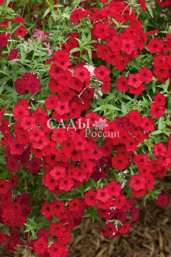 Флоксы Мисс МариФлоксы метельчатые<br>Просто не отвести глаз! Восхитительно<br>яркая, красно-малиновая, с крупными цветками до 4 см в диаметре и<br>волнистыми лепестками.<br>