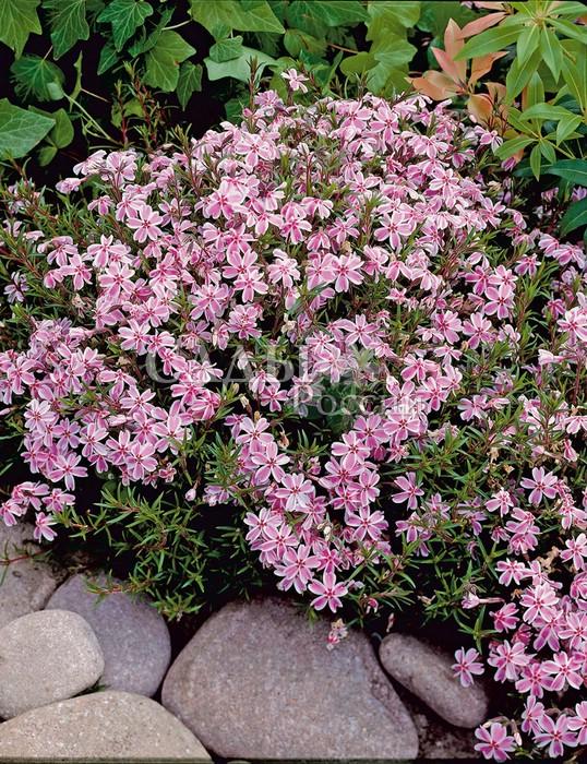 Флоксы КонфеткаФлоксы шиловидные<br>Карамель «раковая шейка» розовая в<br>белую полоску. Пышный ажурный коврик с бело-розовыми цветками.<br>