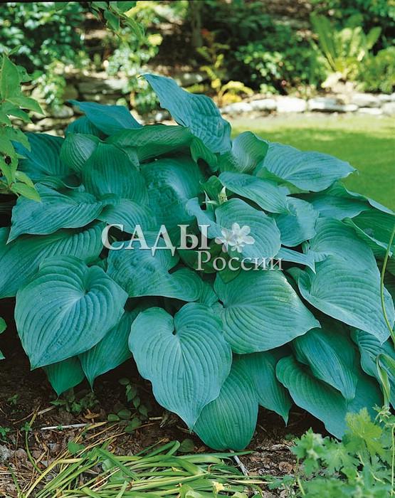 Хосты Голубой ангелХосты<br>Безукоризненно красивое, ангельское растение. Классическая голубая хоста, покоряющая чистотой и<br>насыщенностью голубых оттенков крупных и плотных листьев с отчетливым рельефным жилкованием.<br>