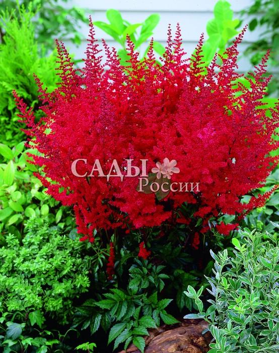 Астильба РадиусАстильба<br>Жизнеутверждающий аккорд счастья. Звонкий, яркий,<br>шарлахово-красный цвет, искрящийся брызгами граната и рубина, карминных пламенных и тёплых коралловых оттенков.<br>