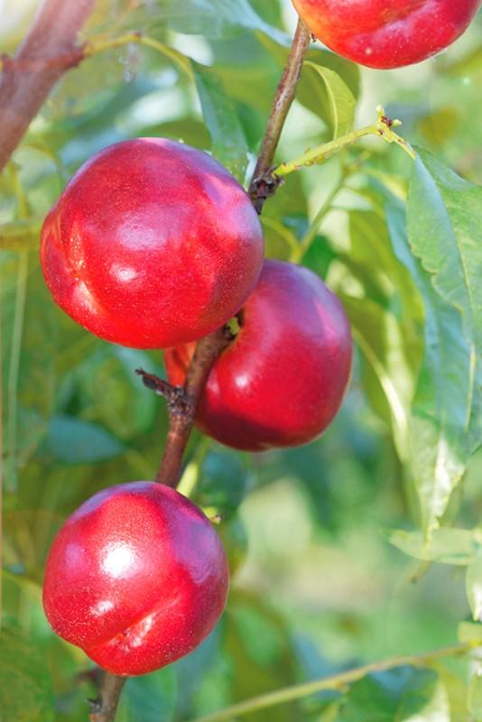 Слива Малиновый шарСлива<br>Это<br>очень интересный броский сорт. Неизгладимое впечатление<br>производят роскошные плоды имеющие форму крупных, весом более 30 г, малиновых шаров.<br>