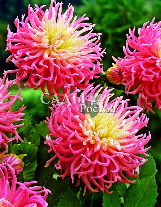 Георгины Звёздный любимецГеоргины кактусовые<br><br>