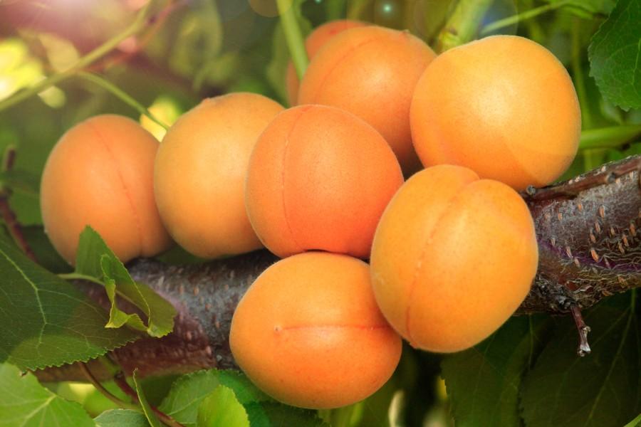 Абрикос МедовыйАбрикос<br>Сорт-наслаждение. По срокам цветения удачно<br>совпадает с основными сортами маньчжурского абрикоса.<br>