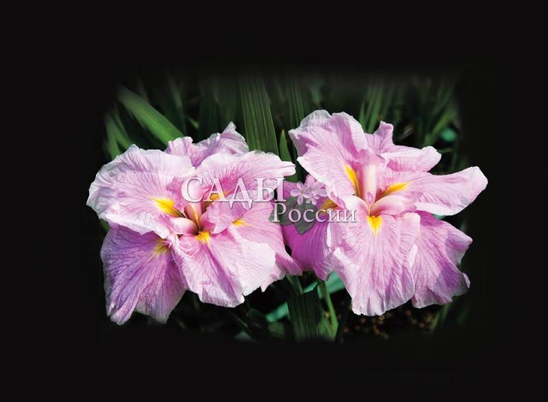 Ирисы Розовый лёдИрисы мечевидные<br>Очень нежные, чарующие цветки с волнистыми и лёгкими<br>шифоновыми лепестками трогательных оттенков<br>розового фламинго и тёплыми, как хрупкая надежда<br>на оттепель, солнечными зайчиками в центре.<br>