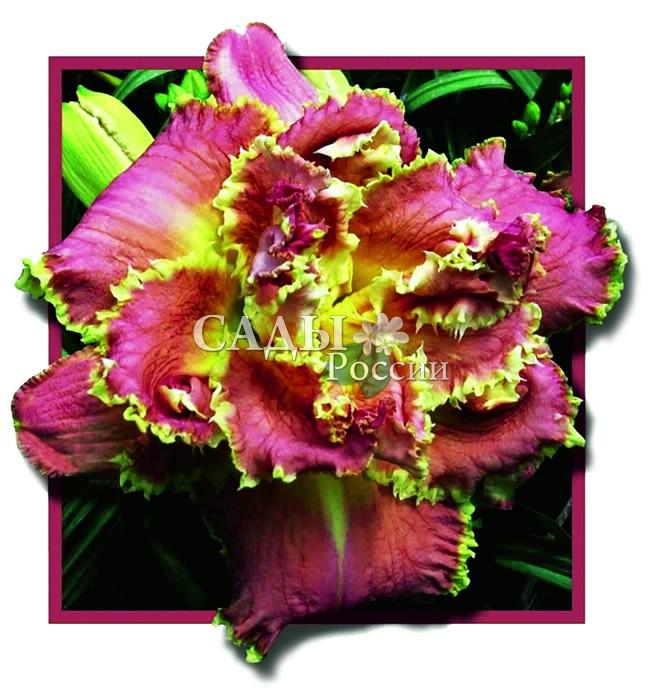 Лилейники ВенецианскийЛилейники<br>Великолепный цветок-красавец, пышный, махровый очень крупный, до 18 см в диаметре.<br>