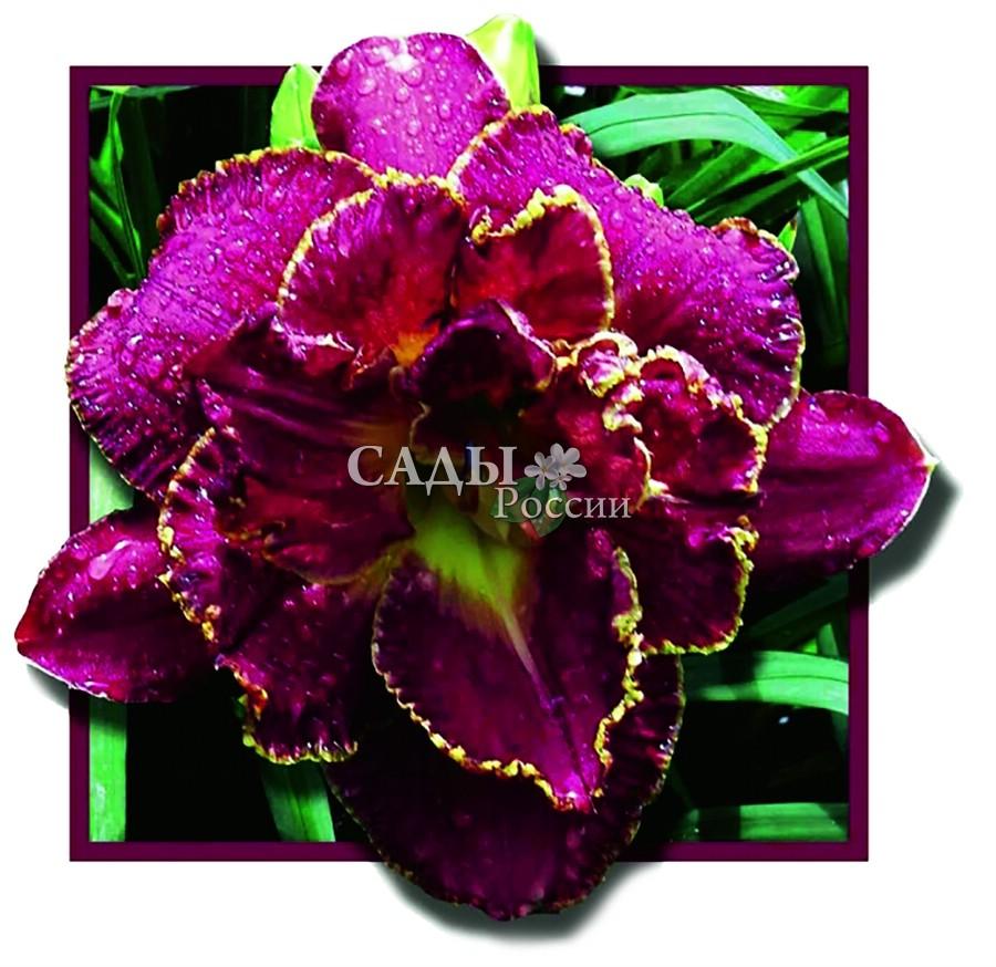 Лилейники Девятое тысячелетиеЛилейники<br>Потрясающе красивый махровый цветок, энергетически сильный,<br>властный, подчиняющий себе пространство и время.<br>