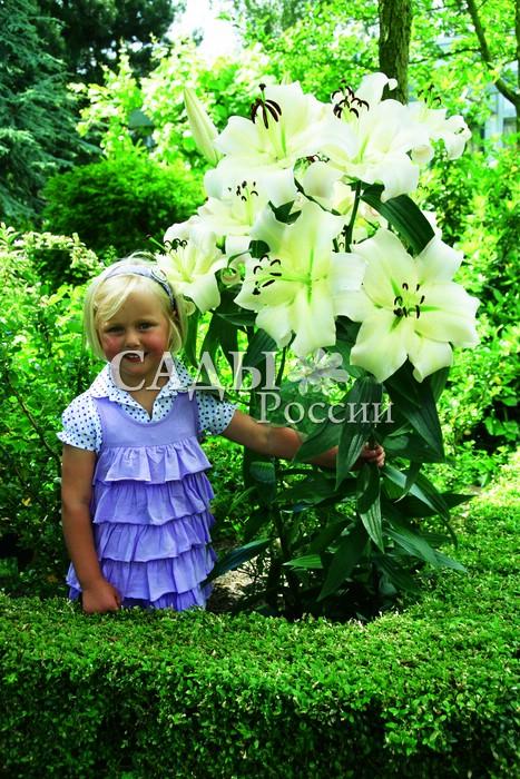 Лилии КрасоткаЛилии от-гибриды<br><br>