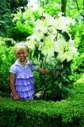 Лилии Красотка