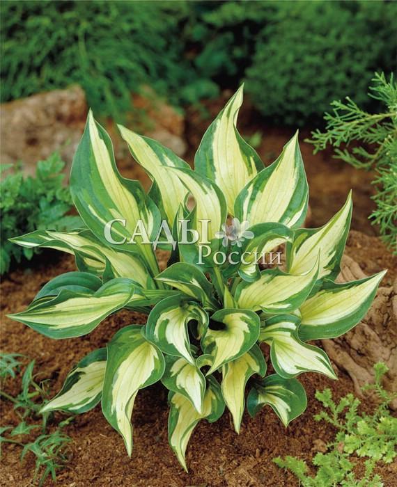 Хосты Вольный ветерХосты<br>Великолепная хоста-вихрь со слегка закрученными и очень выразительными яркими пёстрыми листьями, изменяющими свою<br>окраску в течение сезона.<br>