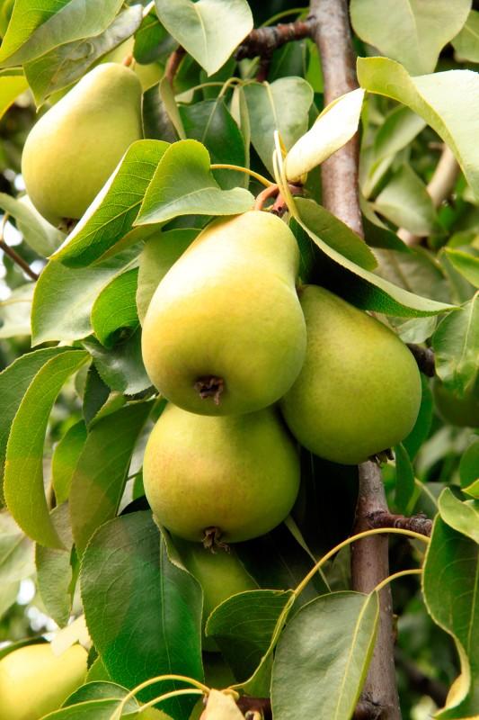 Груша ЧижовскаяГруша Летние сорта<br>Прекрасный позднелетний сорт, отлично<br>зарекомендовавший себя надёжным регулярным плодоношением, великолепными<br>товарными и вкусовыми качествами плодов,<br>высокой зимостойкостью.<br>
