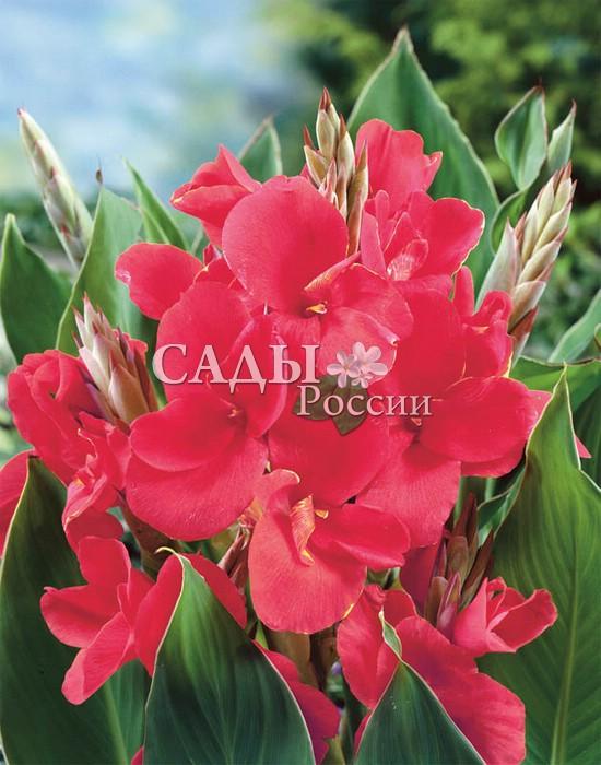 Канны Президент в розовомКанны<br>Стройное великолепие, изящество и величие крупных цветков с шёлковыми волнистыми лепестками розовато-малиновых<br>оттенков. Рост выше среднего — до 150 см.<br>