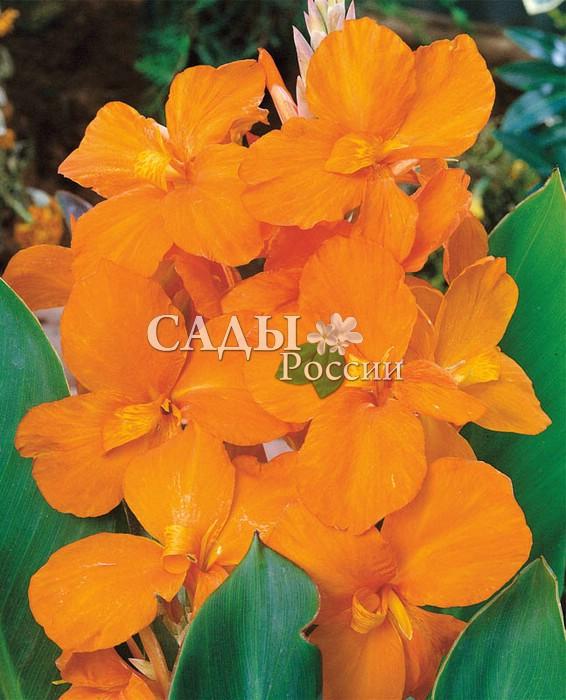 Канны ЦентурионКанны<br>Как и положено стражу порядка, очень<br>выразительный и необыкновенно привлекательный с цветками огненно-жёлтых и ярко-оранжевых оттенков.<br>