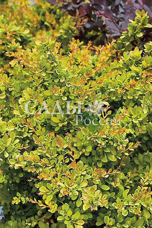 Барбарис Солнечная сенсацияДекоративные деревья, кустарники, лианы<br>Потрясающе красивый сорт-сенсация.<br>