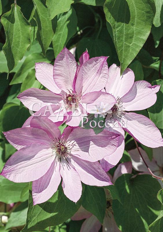 Клематисы ОмошироКлематисы<br>Японский шедевр! Светло-розовые лепестки с<br>пурпурными краями и изнанкой, тычинки фиолетовые.<br>