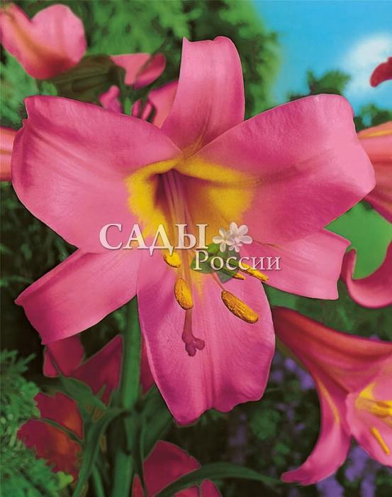 Лилии Розовый регалеЛилии трубчатые<br><br>