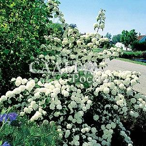 Калина КруглолистнаяДекоративные деревья, кустарники, лианы<br>Великолепный, очень эффектный сорт. Во время<br>цветения, куст сплошь<br>укрыт пышными шарами<br>сливочно-белых соцветий,<br>постепенно приобретающих лёгкие розоватые<br>оттенки.<br>
