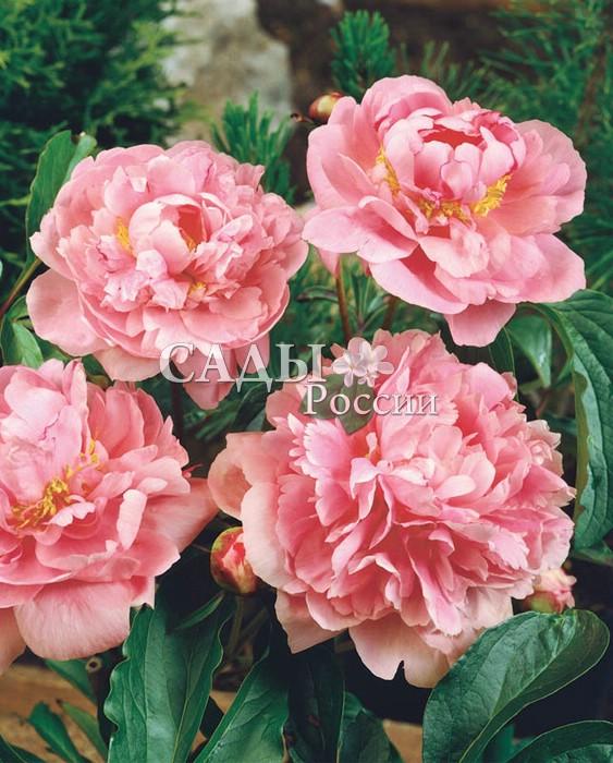 Пионы Гилберт БартелоПионы<br>Сорт-очарованье, хрустально-розовый с лёгким серебристым<br>оттенком атласных волнистых лепестков, скрывающих<br>в глубине золотистый бисер солнечных пушистых тычинок.<br>