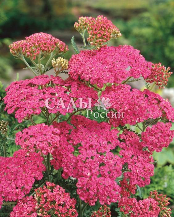 Тысячелистник Вишнёвая королеваТысячелистник<br>Знатная красавица с большими «плюшевыми подушечками»<br>плотных зонтичных соцветий, чарующих насыщенными оттенками цвета спелой вишни.<br>