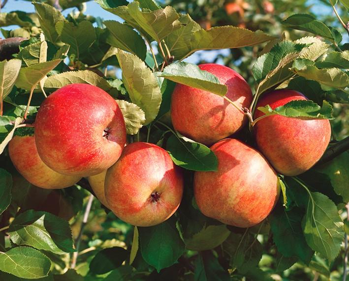 Яблоня Летнее полосатоеЯблоня Летние сорта<br>Дерево<br>очень красивое, с редкой пирамидальной кроной, хорошей зимостойкости, урожайное.<br>