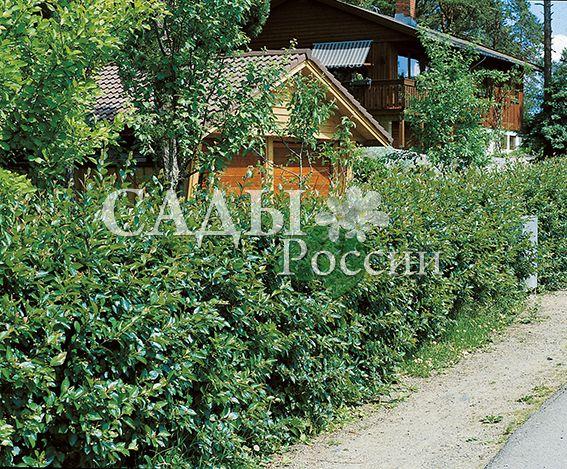 Кизильник блестящийДекоративные деревья, кустарники, лианы<br>Кизильник (cotoneaster) незаменим в практике садового дизайна и декоративного ландшафтного<br>озеленения.<br>