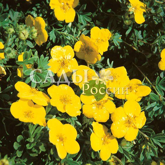 Курильский чай Гигант ХеченсаДекоративные деревья, кустарники, лианы<br>Гулливер в стране лилипутов. Очень живописный,<br>невысокий (60-80 см) подушковидный кустарник,<br>разрастающийся в ширину до 1,2-1,5 м.<br>