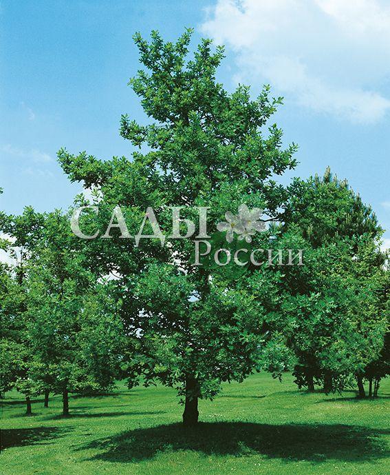 Дуб черешчатыйДекоративные деревья, кустарники, лианы<br>Чаще других видов встречается в российских лесах<br>и это ему посвящены картины наших живописцев<br>и лирические строки поэтов и писателей. Живёт<br>долго, 300-400 лет и больше.<br>