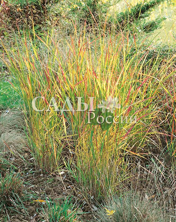 Просо РебраунМноголетние травянистые культуры<br>Декоративный и невероятно выразительный злаккрасавец (в переводе — саврасый), обладатель потрясающей гаммы, так называемых «саврасых» оттенков.<br>