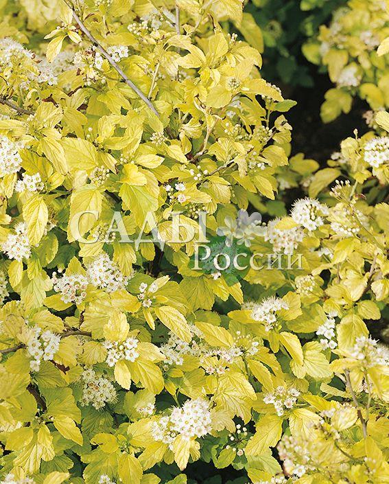 Пузыреплодник Золотой стежокДекоративные деревья, кустарники, лианы<br>Очень живописный желтолистный сорт.<br>