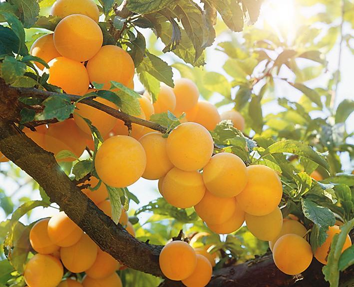 Слива Золотая НиваСлива<br>Гармония вкуса. Небольшие (15-20 г) янтарно-жёлтые<br>плоды с нежной и сочной мякотью такого же цвета обладают изумительными, совершенно неповторимыми сбалансированными вкусовыми оттенками.<br>