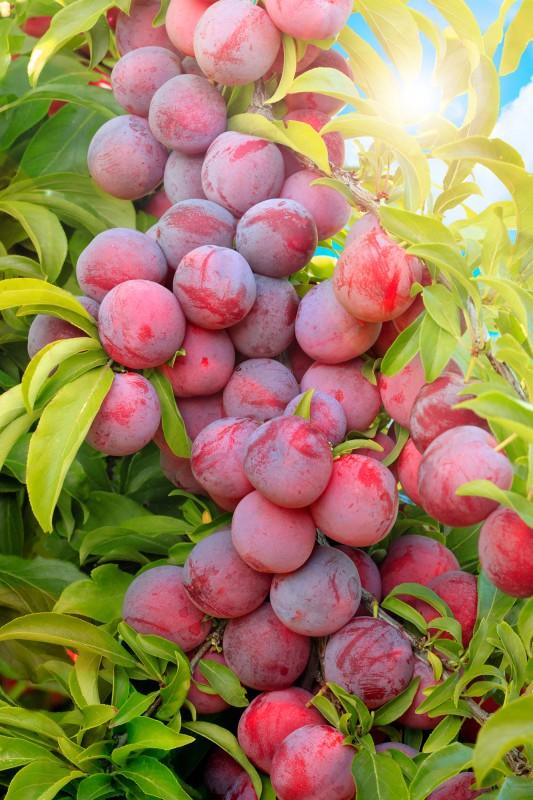 Слива Сеянец Красного шараСлива на полукарликовом подвое<br>Маленький, да удаленький. Быстро вступает в пору<br>плодоношения и всегда радует высокой урожайностью.<br>Дерево аккуратное, медленно растущее, компактное.<br>
