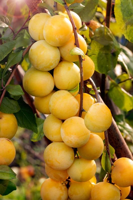 Слива МараСлива русская<br>Суперурожайный сорт, плодоношение настолько обильное, что напоминает плотно сидящие на веточках ягоды<br>облепихи, только на порядок больших размеров (до 25 г<br>и более).<br>