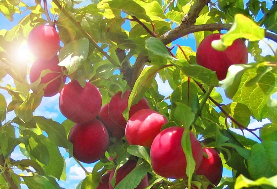 Слива Июльская розаСлива русская<br>Плоды<br>крупные массой 30 г, яйцевидной формы, красивые, тёмно-бордовые с восковым налётом. Мякоть жёлтая, сочная.<br>