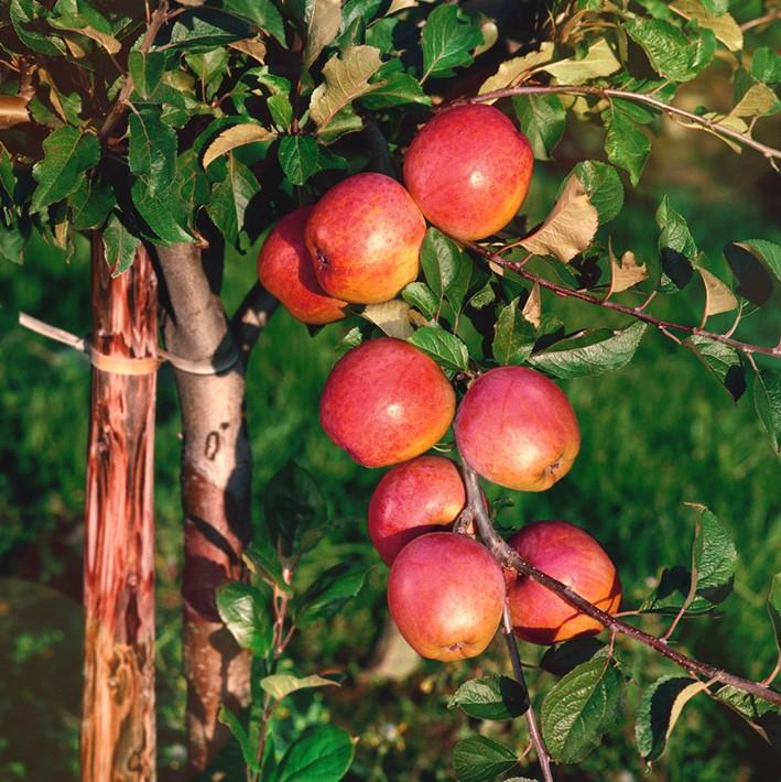 Яблоня СамоцветЯблоня Осенние сорта<br>Отличный крупноплодный сорт с расписными яблоками.<br>