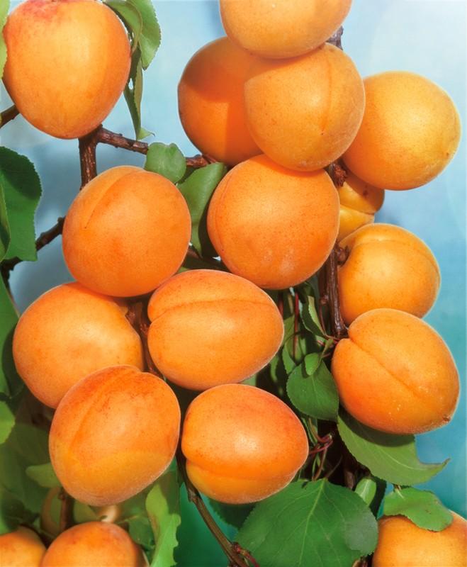 Абрикос ДальневосточныйАбрикос<br>Выносливый, плодородный и зимостойкий. Созревает в начале августа на 2-3 недели позже ранних сортов, продлевая счастливый период<br>абрикосового наваждения.<br>