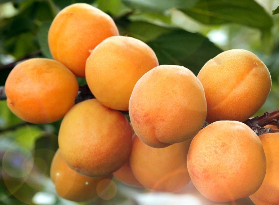Абрикос Сибиряк БайкаловаАбрикос на полукарликовом подвое<br>Быстророслый и скороплодный сорт с крупными, массой до 37 г, красивыми плодами великолепного вкуса.<br>