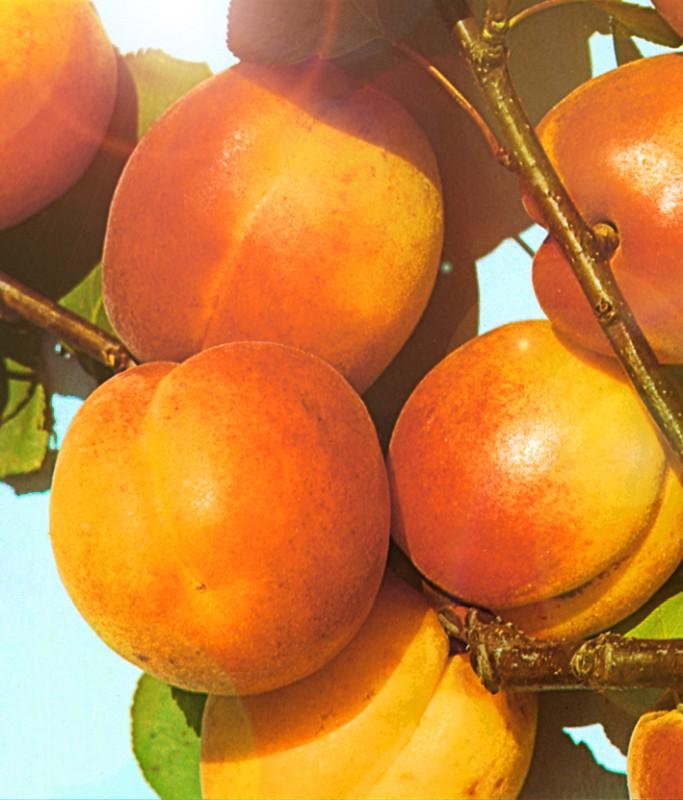 Абрикос Триумф СеверныйАбрикос на полукарликовом подвое<br>Сорт-чемпион, обладатель восхитительных крупных плодов массой 55 г.<br>