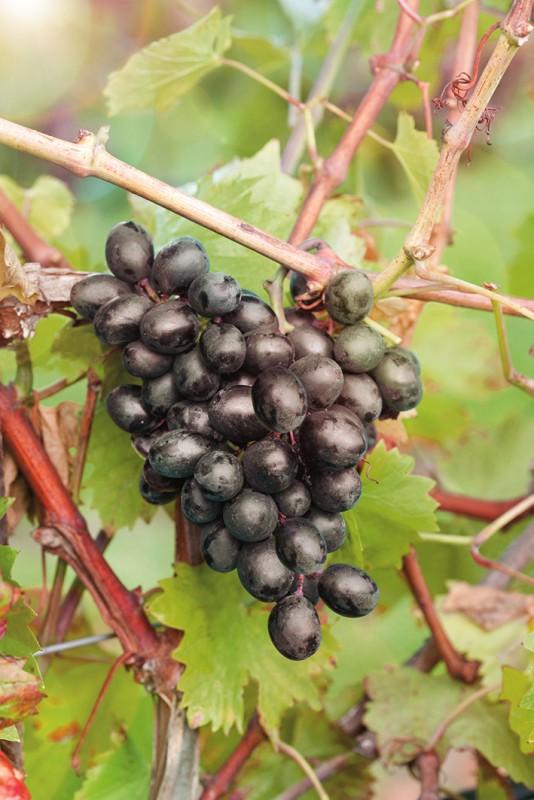 Виноград ЧарлиВиноград<br>Неприхотливый, урожайный и очень ранний (100<br>дней от распускания первой почки до уборки) сорт-находка.<br>