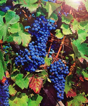 Виноград РошфорВиноград<br>Замечательный, очень нарядный<br>сорт раннего срока созревания (105—110 дней от распускания первой почки<br>до уборки).<br>