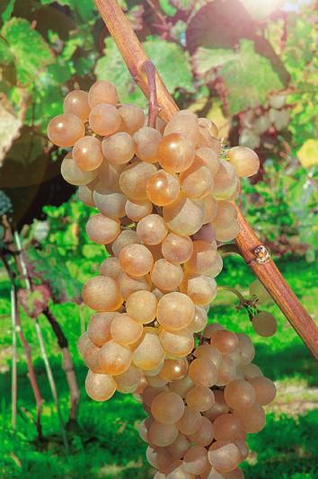 Виноград ПлатовскийВиноград для домашнего виноделия<br>Сорт-золотце, пластичный, урожайный, ранний.<br>