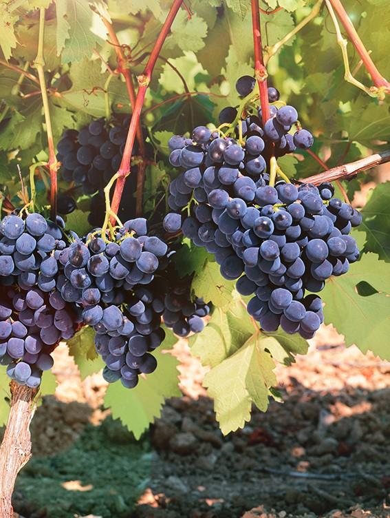 Виноград АльфаВиноград для домашнего виноделия<br>Североамериканский сорт среднего срока созревания (140—145 дней после распускания первой<br>почки).<br>