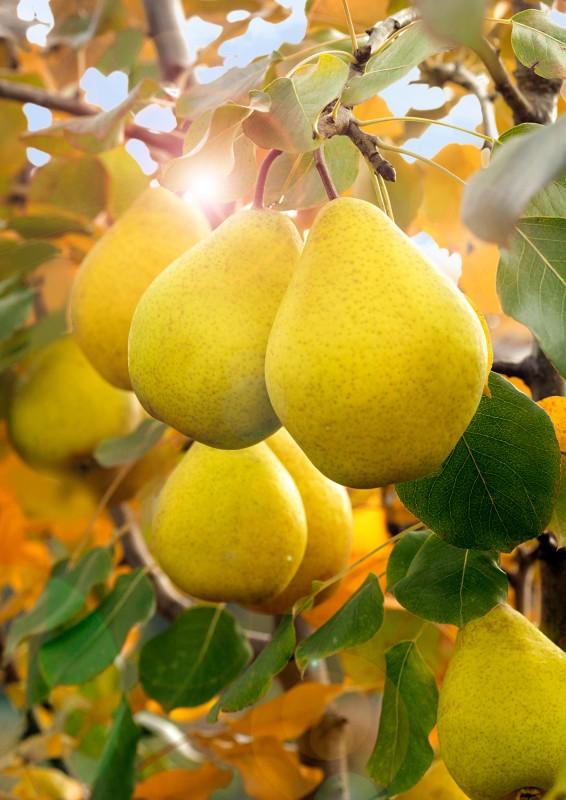 Груша ЛимонаднаяГруша Осенние сорта<br>Вкусная и ароматная, как освежающий одноимённый напиток.<br>