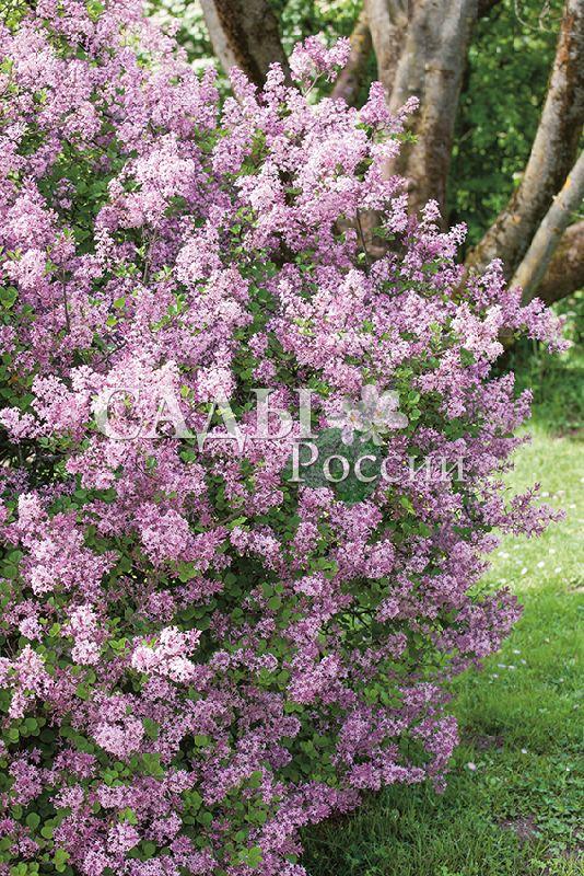 Сирень ПалибинДекоративные деревья, кустарники, лианы<br>Сирень-миниатюра из «балконной серии»<br>карликовых кустарников.<br>