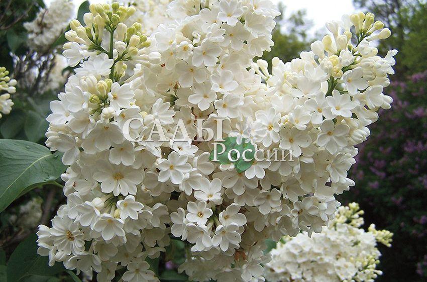 Сирень РочестерДекоративные деревья, кустарники, лианы<br>Уникальный, единственный в своём роде сорт-загадка с необычными многолепестковыми белыми цветками, похожими на примулы.<br>